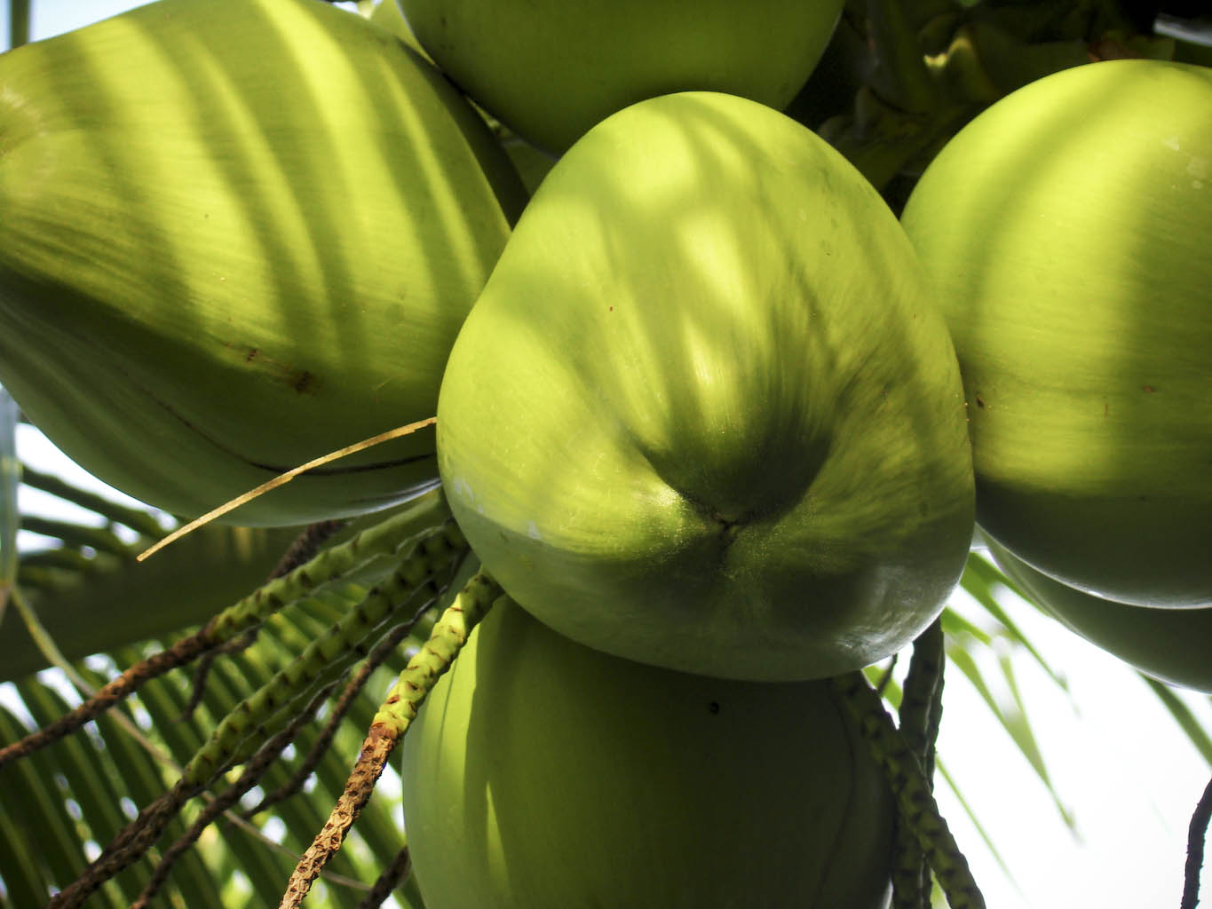 http://www.celkau.in/Crops/Plantation%20Crops/Coconut/images/coconut.jpg